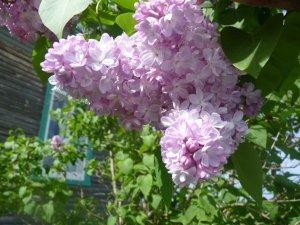 Le lilas, l'une de mes fleurs préférées. Crédit photo: Bernard Germain.